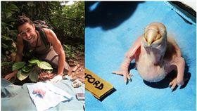 亞馬遜雨林,雛鳥,金剛鸚鵡,野生動物,瀕臨絕種(圖/翻攝toutiao.com)