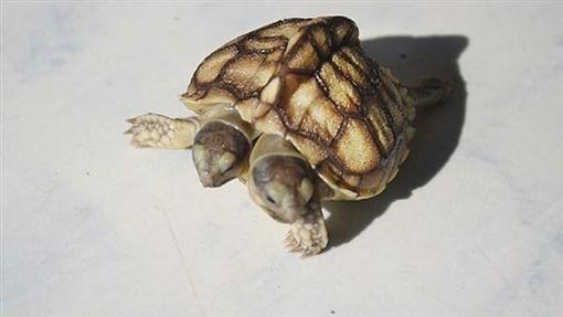 盾臂龜,烏龜,連體嬰,泰國,明牌/翻攝自Khaosod