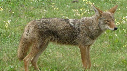 美國,伊利諾州,小狗,郊狼,Canis latrans,野生動物,警局(圖/翻攝維基百科)