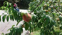 升級版彌猴 專挑有套袋的水蜜桃(1)台東水蜜桃開始量產上市,由於水蜜桃大部分都是種在山區,和往年一樣,必須和猴子搶收;今年農民發現猴子變聰明了,只採有套袋的水蜜桃,沒套袋的水蜜桃動都不動。中央社記者盧太城台東攝 107年5月17日