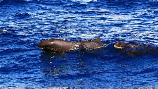 花蓮外海小虎鯨家族悠游(2)花蓮賞鯨業者17日上午帶著遊客出航,在花蓮溪口以東的鹽寮海邊看到20多隻小虎鯨悠游。船長江文隆表示,小虎鯨的身軀健壯,體長大約只有2公尺。(多羅滿賞鯨提供)中央社記者李先鳳傳真 107年5月17日