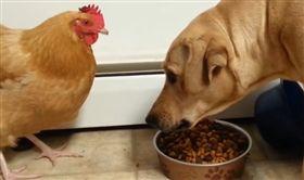 飼料被雞瘋狂偷吃 拉不拉多狂瞪無效 (圖/翻攝自NTD Funniest臉書)