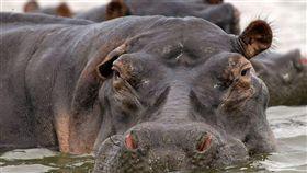 排泄物,大便,非洲,缺氧,窒息,魚,Mara River,Chris Dutton,研究,調查,河馬,生態 圖/翻攝自維基百科 https://goo.gl/ks1T3j