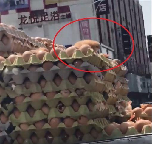 近日天氣逐漸轉熱,就連小雞都受不了啦!有一輛載滿上千顆雞蛋的貨車行駛在路上,但疑天氣太熱,小雞竟「破殼而出」,在雞蛋上活蹦亂跳。其他網友看到後,紛紛搞笑地說「再曬一下就變雞塊啦!」(圖/翻攝自臉書)