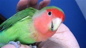 鸚鵡,鳥(圖/翻攝維基百科)