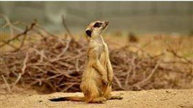 「動物明星」狐獴札拉被摔死,許多人難過不已!(圖/翻攝自動物園長托可維克斯(Tamas Tokovics)的臉書)