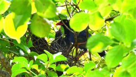佛光大學藍鵲護雛心切 空襲路過師生宜蘭佛光大學近期發現一對台灣藍鵲,在校園內的樹上築巢,養育5隻幼鳥。由於正值繁殖期,鳥爸、鳥媽護子心切,常常對經過的師生們進行「空襲」,師生經過時都要小心翼翼。(佛光大學提供)中央社記者沈如峰宜蘭傳真 107年5月24日