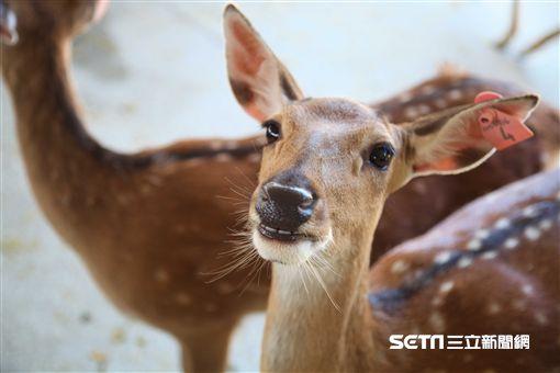 墾丁華泰瑞苑全包式旅遊行程,梅花鹿,恆春鹿境。(圖/記者簡佑庭攝)