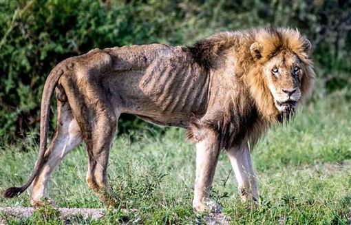 獅子,地位,領導,Kruger National Park,Larry Pannell,孤獨,潦倒,大象,Skybed Scar,美國 圖/翻攝自推特https://goo.gl/gsf9Rd
