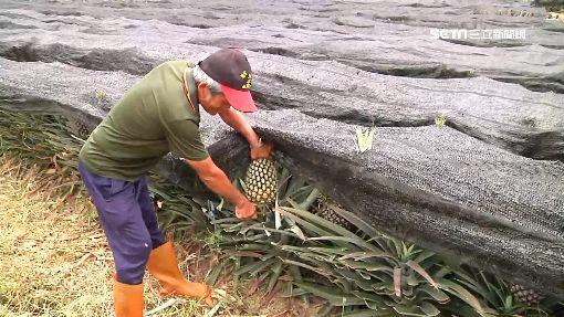 香蕉、鳳梨「價格賤」 綠議員:銷大陸最快-果農-鳳梨-
