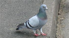 鴿子(圖/翻攝維基百科)