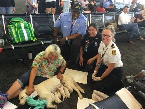導盲犬陪伴主人搭機...登機前突分娩 順利產下8隻小拉拉圖/翻攝自Tampa Fire Rescue推特