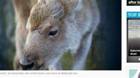 雪白犎牛寶寶誕生 萌樣曝光惹人憐 犎牛,美國野牛,美洲原住民,好運,神聖,全白,萌,稀有 https://www.afp.com/en/news/826/rare-white-bison-born-belgrade-zoo-doc-15h0l01