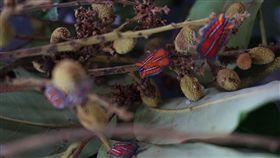 蟲蟲危機 中市府推荔枝椿象防治法荔枝椿象自去年起,開始在各地猖獗,除了果園外,現已出沒在市區的校園及住宅區。台中市政府農業局23日發布新聞提出防治荔枝椿象的三部曲,以化學、物理及生物防治並重的病蟲害綜合防治法,盼降低農民損失。中央社記者趙麗妍攝 107年5月23日