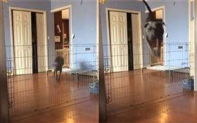 長腿汪飛越超高柵欄 見到這台卻退縮 (圖/翻攝自Dogspotting Society臉書)