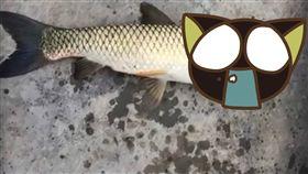 鸚鵡魚,魚,海豚,鯉魚,污染,日本,微信,大陸,頭,鐵頭功,魚鱗, 圖/翻攝自臉書 https://goo.gl/Hr1XzQ