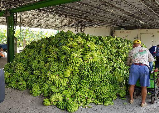 格外品香蕉去化 高市府將送畜牧場餵豬配合農委會農糧署政策,高雄市收購約44噸的格外品香蕉進行去化,並堆滿了集貨場,高雄市農業局表示,將送到畜牧場餵豬或堆肥場資源利用。中央社記者王淑芬攝 107年6月8日