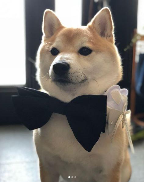 柴犬,狗,結婚,婚禮,戒指小童,新郎,豆助座衛門(圖/翻攝自mamesukezaemon IG)