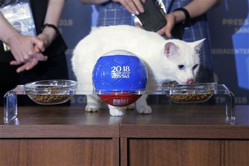 白貓阿基里斯預測開幕戰獲勝球隊。(圖/美聯社/達志影像)