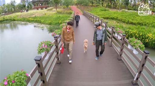 影/貴賓過橋自動變雙腳模式走路 動物專家:為討主人歡心/(圖/翻攝自우와한비디오 YouTube)