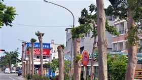 颱風季來了 台東又見整排斷頭樹(2)台東市又見「斷頭樹」,興安路2公里長,上面數百棵5層樓高小葉欖仁被砍成高矮不一,高的2層樓,矮的不到一樓高,有的留下幾根樹枝,有的則是光禿禿的一根樹幹。中央社記者盧太城台東攝 107年6月14日