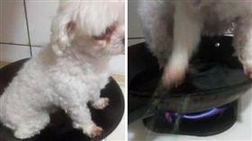 虐狗,平底鍋,煎煮,煎烤,馬爾濟斯,狗狗,毛小孩(圖/翻攝自我要當流浪動物義工救援團隊)