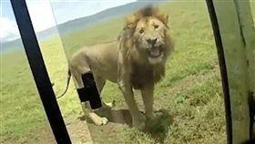 遊客開窗摸獅子 反遭獅子怒吼嚇到吃手手(圖/翻攝自英國 每日郵報 http://www.dailymail.co.uk/news/article-5851549/Safari-tourist-tries-stroke-lion-4x4-window-big-cat-lets-almighty-roar.html)