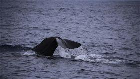 端午連續假 花蓮喜見抹香鯨(1)端午節連續假期,雖然花蓮也在豪大雨警戒範圍,還是有旅客堅持行程,賞鯨團看到12隻抹香鯨,遊客開心的說「太幸運了」。(多羅滿賞鯨提供)中央社記者盧太城台東傳真 107年6月18日