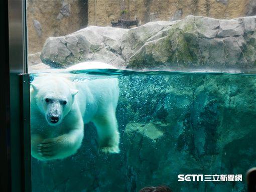 北海道旭山動物園,北極熊。(圖/記者馮珮汶攝)