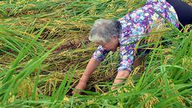 連日雨 東部水稻倒伏嚴重從端午節前開始,台東地區連下多天雨勢,水稻陸續傳出災情,台東縱谷地區稻作倒伏情形嚴重,農民19日趁著雨勢稍歇巡視農田受災情形。中央社記者盧太城台東攝 107年6月19日