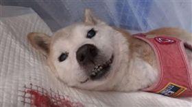 高齡柴犬將離世 病榻給主人最後微笑 (圖/翻攝自Shibamichy YouTube)