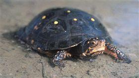 星點水龜、烏龜。(圖/翻攝自維基百科)