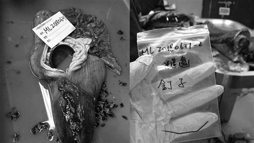 保育類糙齒海豚擱淺、死亡小海豚解剖翻攝海洋公民基金會臉書