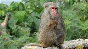▲台灣獼猴(圖/翻攝自pixabay)