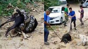 泰國,清邁,山區,巨蟒,蛇,狗,寵物,纏繞,死亡,轉折,伙伴,同伴,吠叫,救援,路人,棍棒,毆打 圖/翻攝自YouTube https://goo.gl/1pACMF