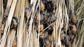 暑期遊鰲鼓 親子透過直播觀賞蝙蝠睡姿嘉義林管處26日起在鰲鼓濕地園區的東石自然生態展示館舉辦「阿蝠的異想世界」活動,親子可利用暑期進入蝙蝠的世界,還能透過直播觀看蝙蝠可愛睡姿。(嘉義林管處提供)中央社記者黃國芳傳真 107年6月25日