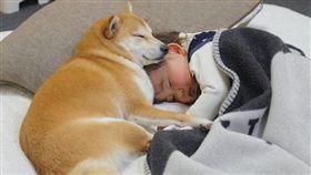 柴柴貼心「陪睡」!身兼保母及玩伴