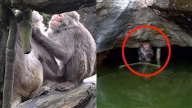 野生獼猴闖獼猴島遭圍毆()