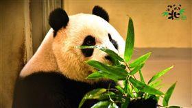 大貓熊,圓仔,假孕,台北市立動物園,動物園