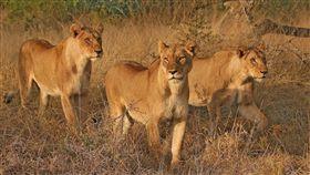 獅子 (Kruger National Park 臉書