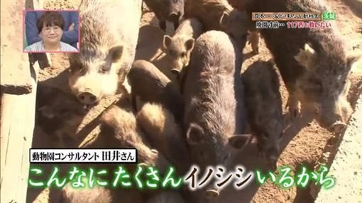 山豬多到滿出來!日動物園沒人要去 可愛動物恐全部安樂死圖/翻攝自Twitter
