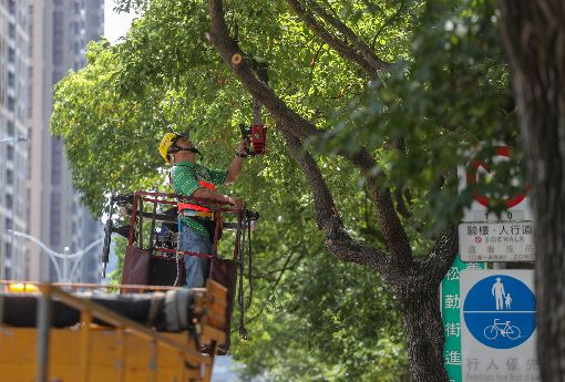 因應颱風 北市進行路樹維護作業(2)今年第8號颱風瑪莉亞朝台灣逼近,台北市政府工務局公園處9日進行樹木修剪作業,工程人員以枝條較為叢生或雜亂樹種優先施作,維護路樹健全及行人安全。中央社記者裴禛攝 107年7月9日