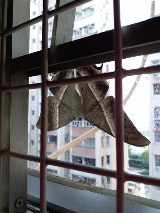 窗戶徵信社薦上見巨型飛蛾 尺合法徵信社寸大如蝙