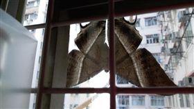 窗戶上驚見巨型飛蛾 尺寸大如蝙蝠。(圖/翻攝自西環變幻時臉書)