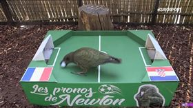 巴黎的一隻名叫牛頓(Newton)的鸚鵡預測法國奪世足冠軍(圖/翻攝自YouTube)