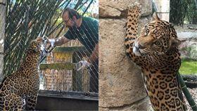 美洲豹,美國,紐奧良,動物園,虐殺,逃出,可愛,Audubon Zoo,Valerio, 圖/翻攝自臉書