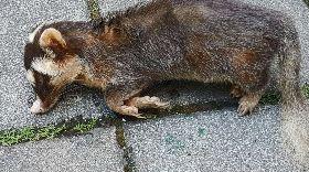 花蓮狂犬病鼬獾連續咬傷人(1)