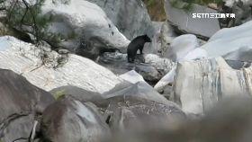 全台熊現蹤1200