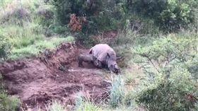 小犀牛輕推想喝奶…媽早遭獵殺砍角亡 圖翻攝自Rhino 911臉書