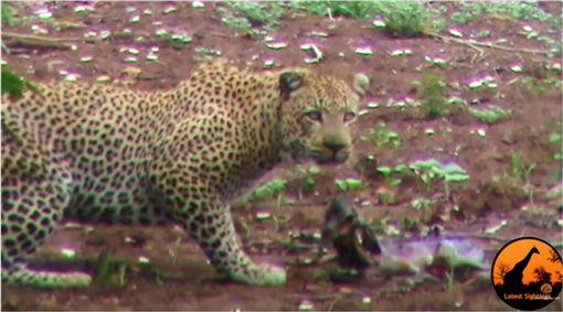 非洲,黑斑羚,弱肉強食,豹,獵食 圖/翻攝自YouTube